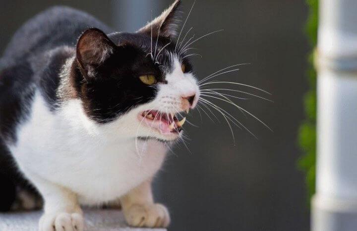Агрессивные кошки