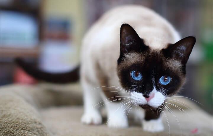 Разновидность породы кошек сноу-шу