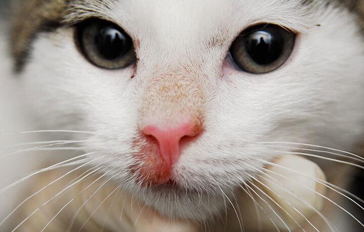 Себорея у котов