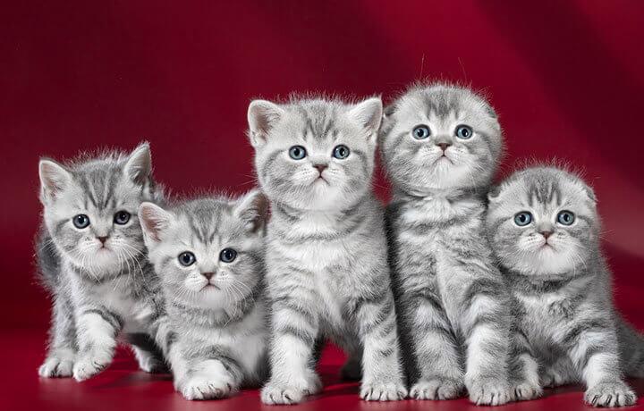 Классы вислоухих котят