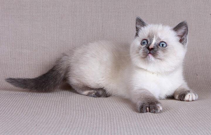 Стоимость вислоухого котенка