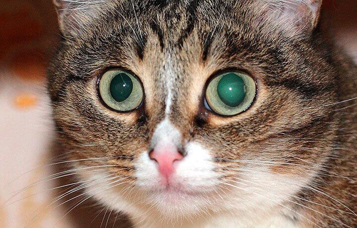Травма глаза у кошки