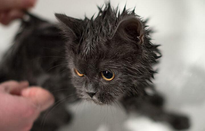 Жирная себорея у кота