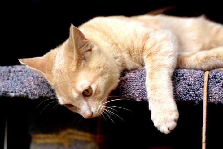 Действие препарата Кот Баюн на кошку