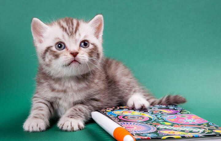 Цена британского котенка с документами