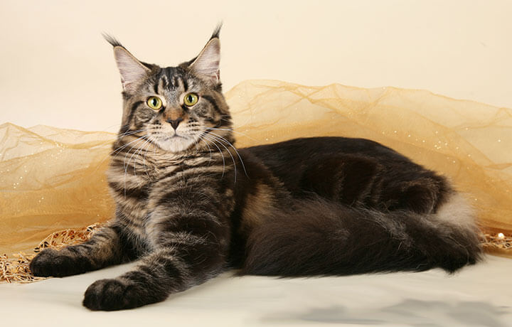 Кошка породы Мейн-кун