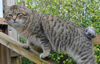 Три самые крупные породы кошек в мире