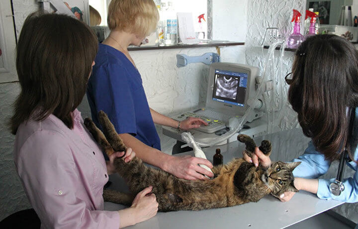 УЗИ кошек при беременности