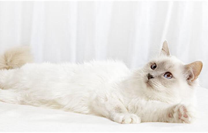 Выявление беременности у кошек