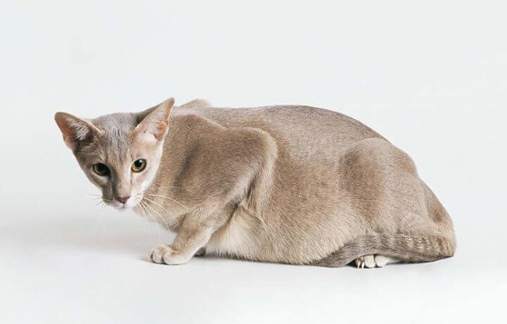 беременность кошки по неделям