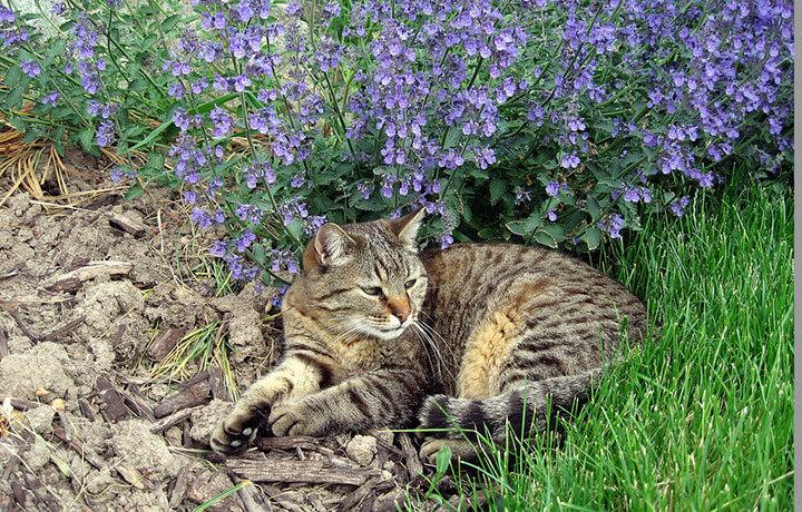 кошачья мята для кошек