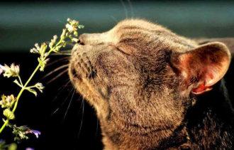 Кошачья мята – натуральное безопасное седативное средство для кошек