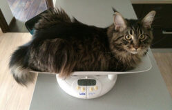 Сколько весит кот мейн кун