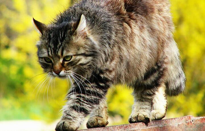 Кошачьи феромоны