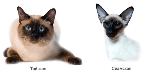 Отличие тайской кошки от сиамской