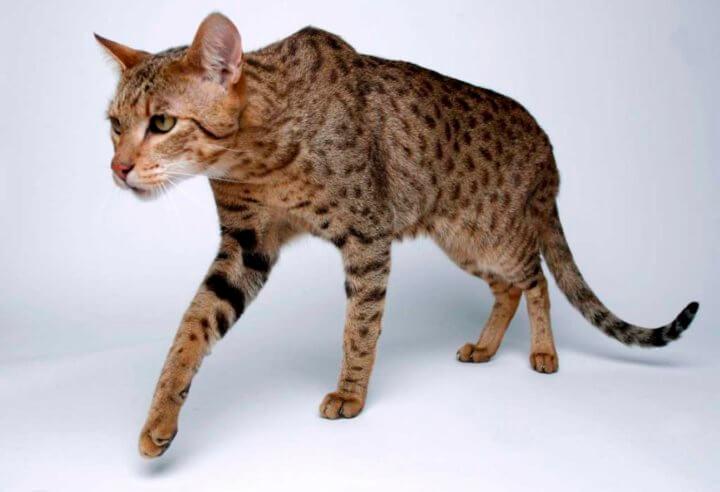 Порода кошки Ашера