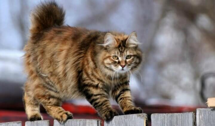 Порода кошки Бобтейл