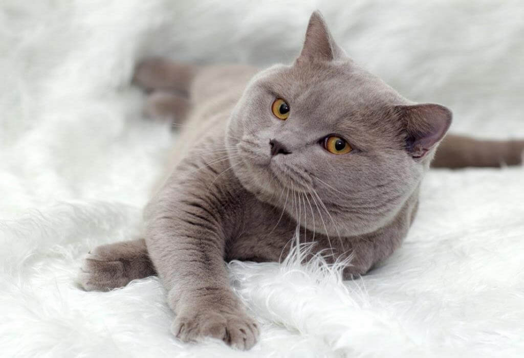 Бывают ли британские кошки вислоухими