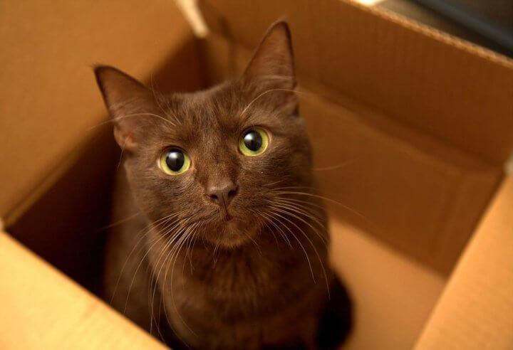Порода кошек Гаванна