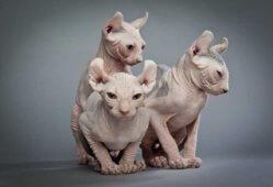 Коты, которые не линяют