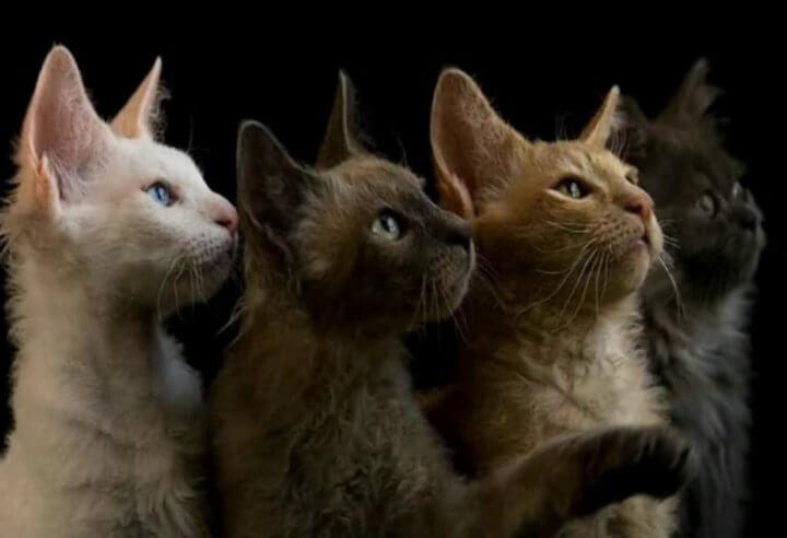 Кошки Лаперм
