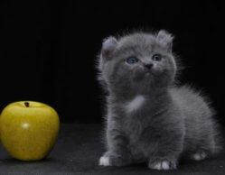Миниатюрные породы кошек