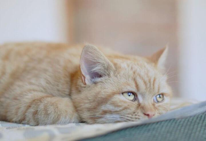 Неправильный рацион кошки
