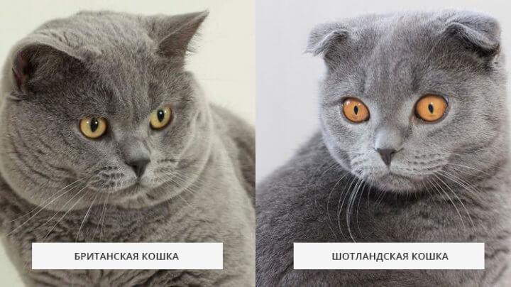 Отличие британской кошки от шотландской