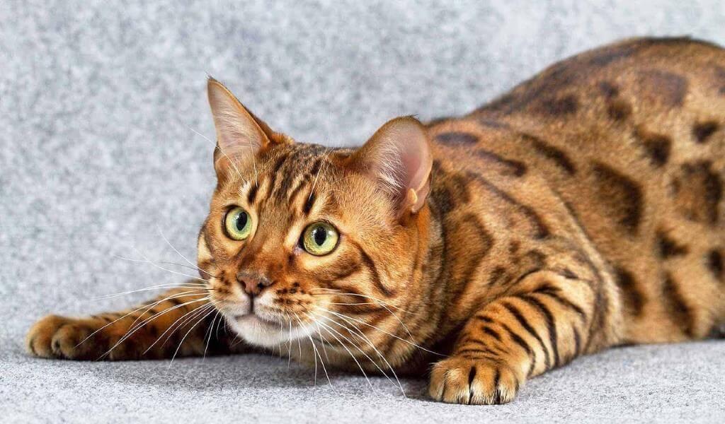 Редчайшие породы кошек