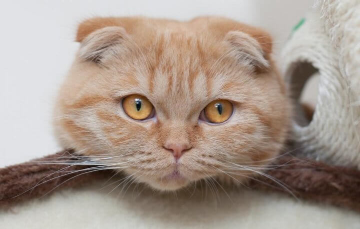 Шотландский короткошерстый кот
