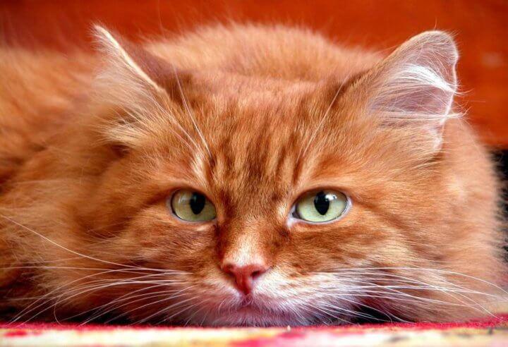 Возраст кота для кастрации