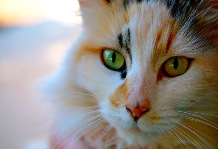 Выбор имени для трехцветной кошки