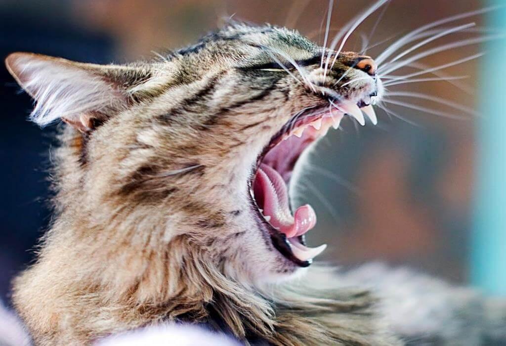 Выпадают ли у кошек зубы
