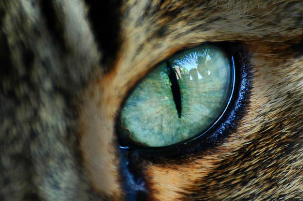У кошек часто встречаются проблемы с глазами