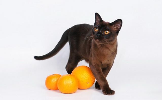 Бурманскую кошку можно кормить натуральной едой