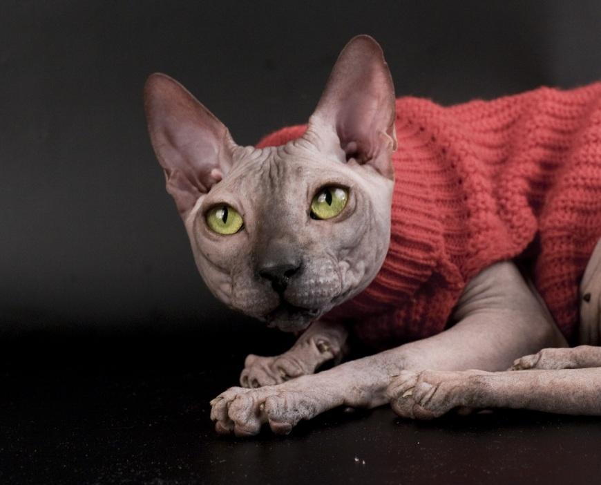 Из-за отсутствия шерсти эти животные чувствительны к колебаниям температур