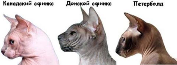 Разновидности сфинкса