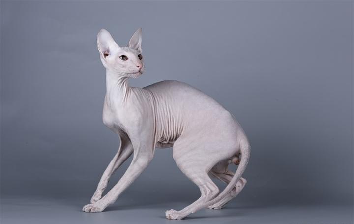 Имя для кошки породы сфинкс: прикольные клички для девочек-сфинксов. Как назвать котенка египетской породы или породы петерболд?