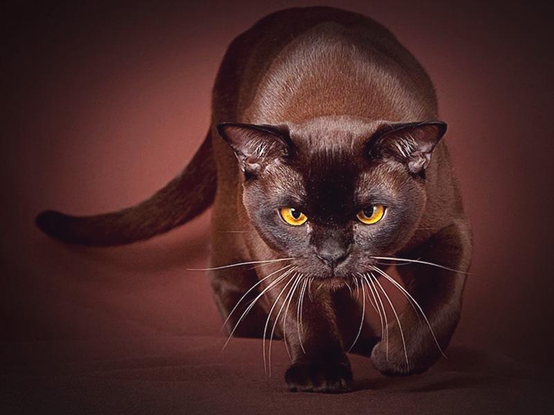 Короткошерстная бурманская порода кошек