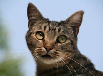 Описание кельтской или европейской короткошерстной кошки