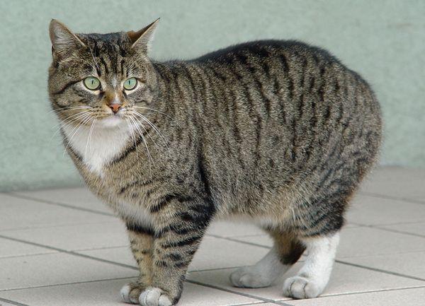 Кельтская (европейская короткошерстная) кошка