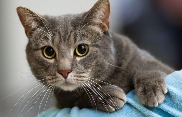 Кельтские кошки в среднем живут 16–20 лет