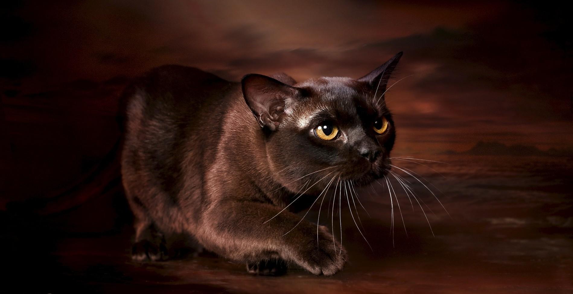 Особенности характера и внешность бурманской породы кошек
