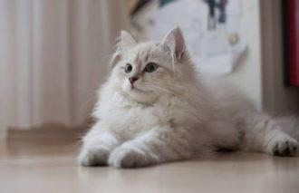 Отличительные черты и характер ангорской породы кошек