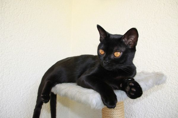 Бомбейская породы кошки