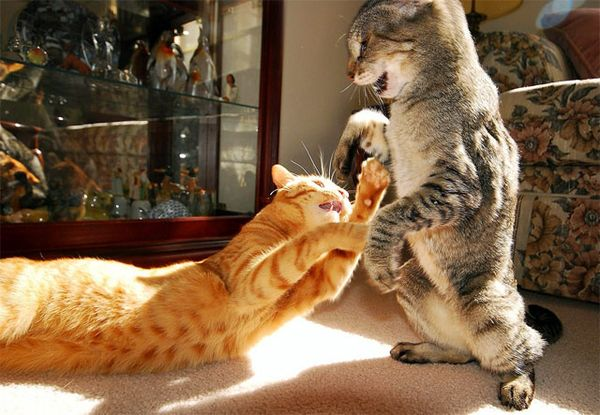 К появлению в доме второй кошки нужно подготовиться
