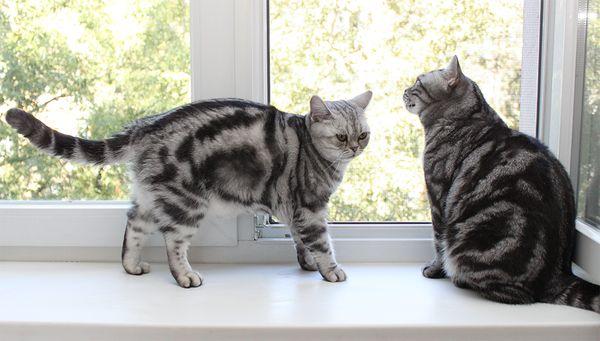 Знакомство кошек в доме