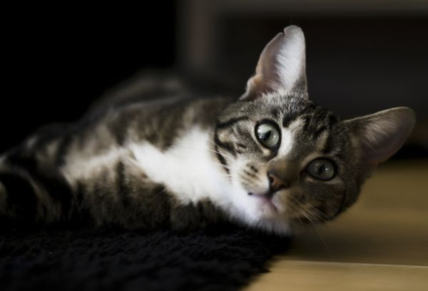 Таблетки и капли для кошек от гуляния как средство контрацепции