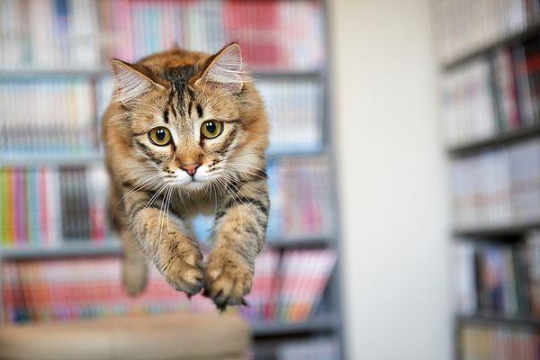 Можно научить кошку прыгать через обруч или между стульями