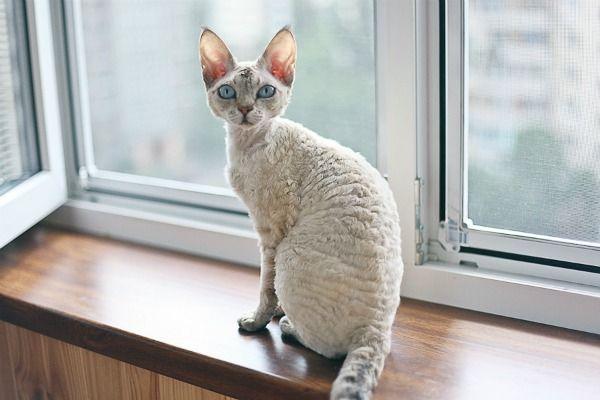 Кучерявая порода кошки